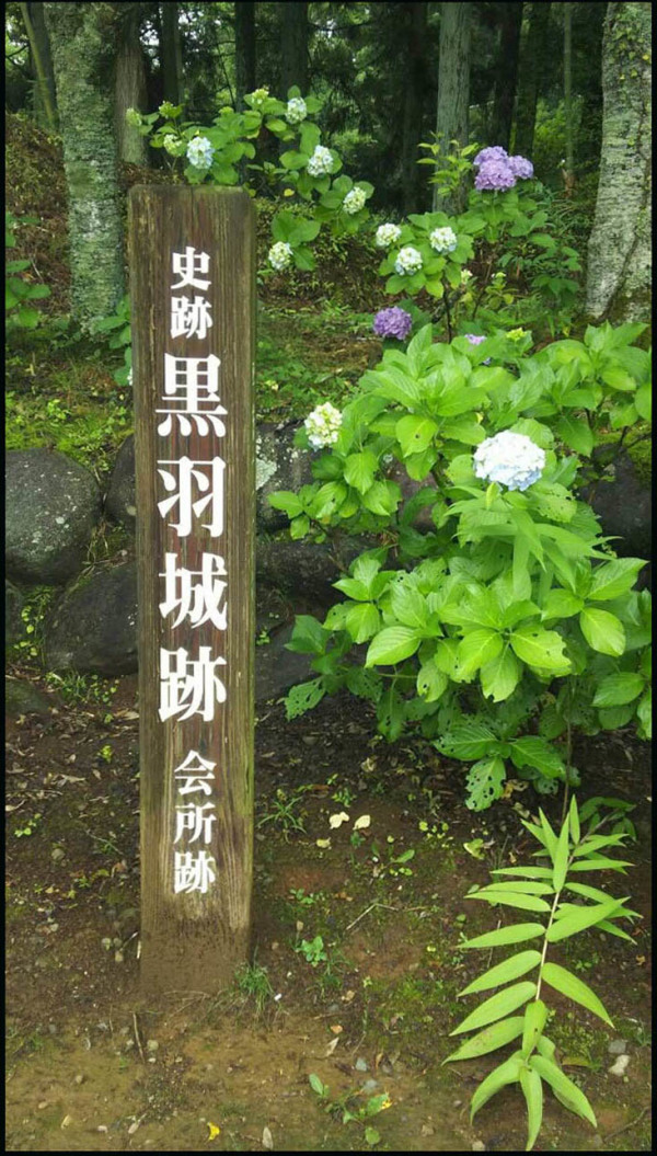 Hydrangea Kurobane Castle Park  1