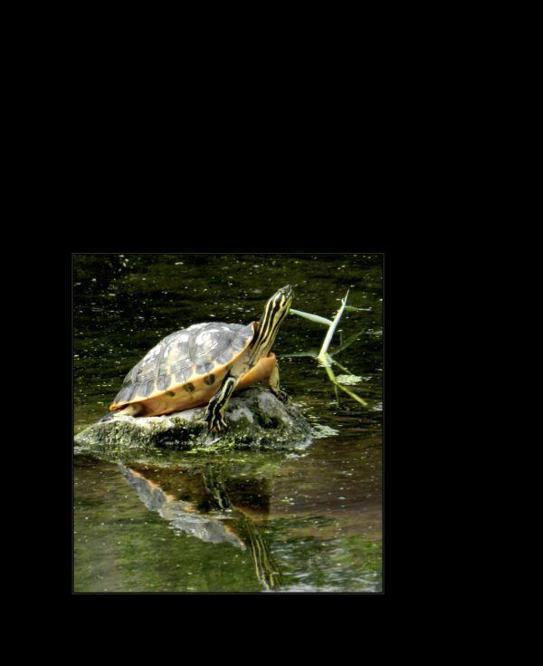 Sunbathing -Pond Slider