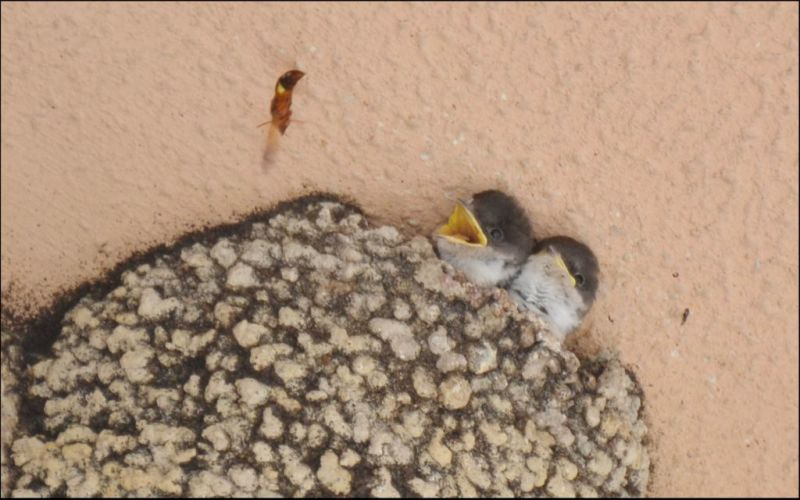 Swallow chicks & Flying Bee