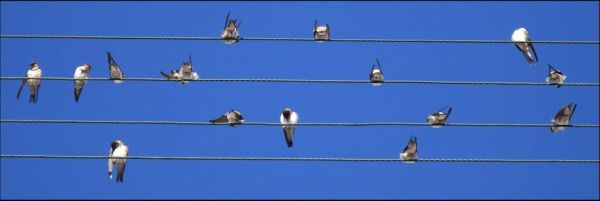 Young Swallows on The Power Lines