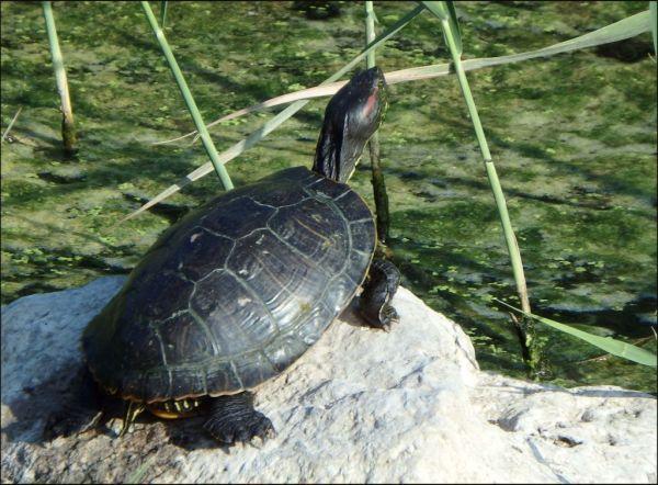 Sunbathing - Pond Slider