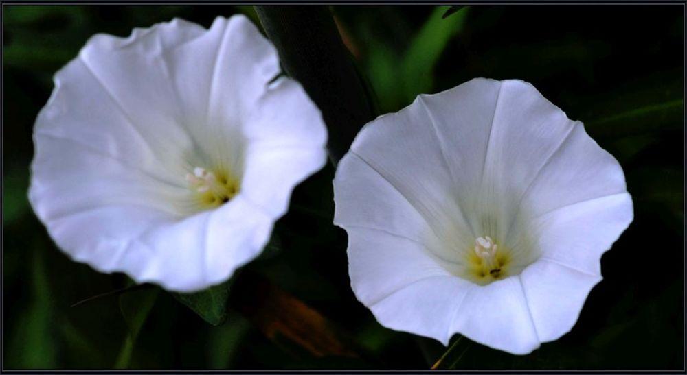 Ipomoea - White