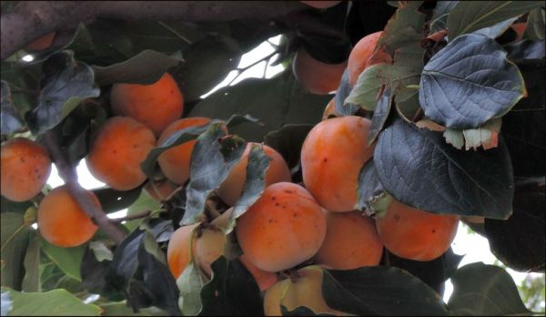 The kaqui Tree is Loaded with Fruit