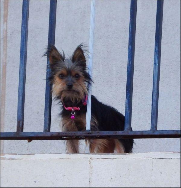 Yorkie at The Balcony