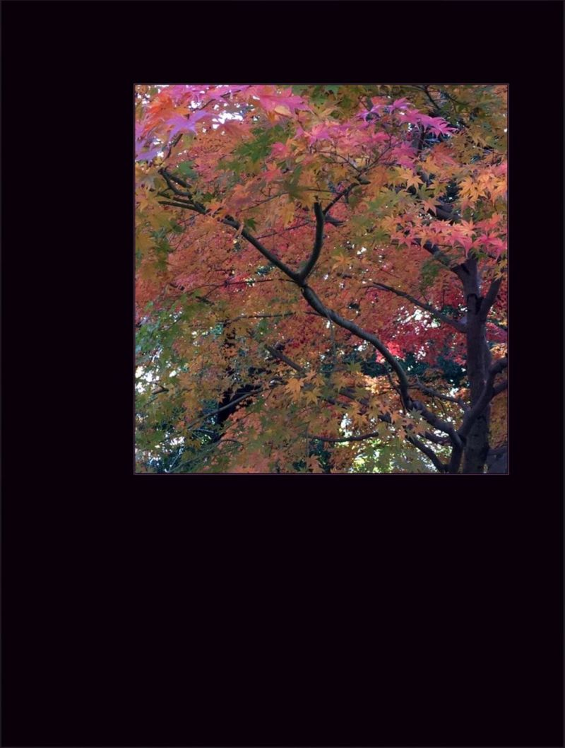 Fall Colour of Pink Maple