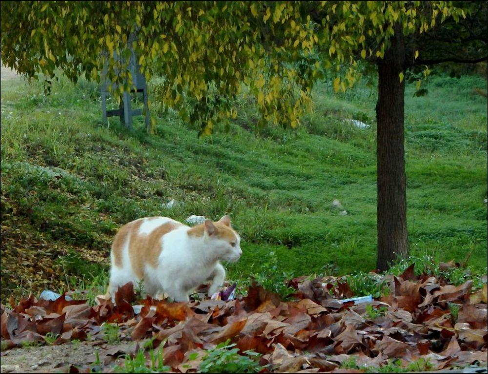 Cat Walking Among  Fallen Leaves