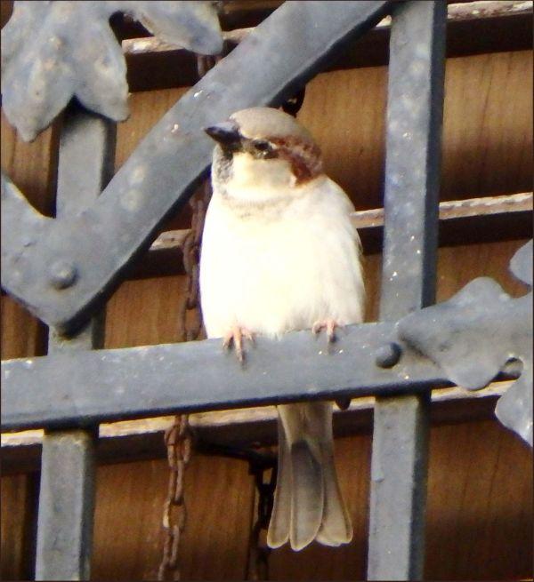 Sparrow at a Balcony
