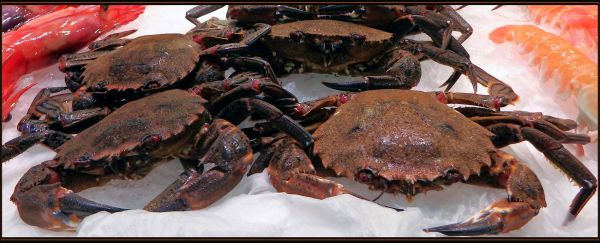 Spanish Crab - Nécoras