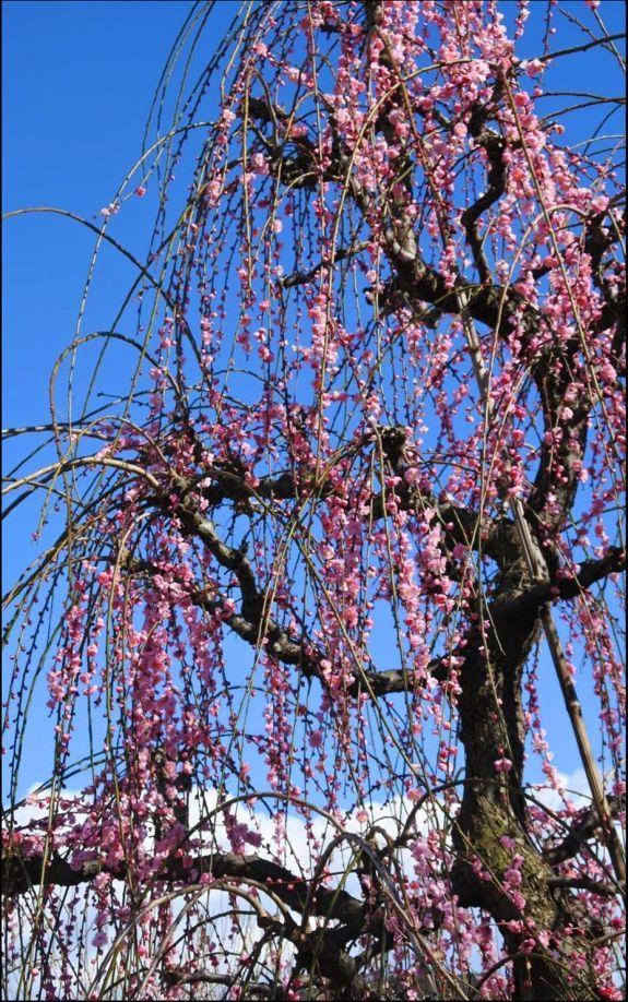 Odawara Plum Blossom Festival and Yabusame 1