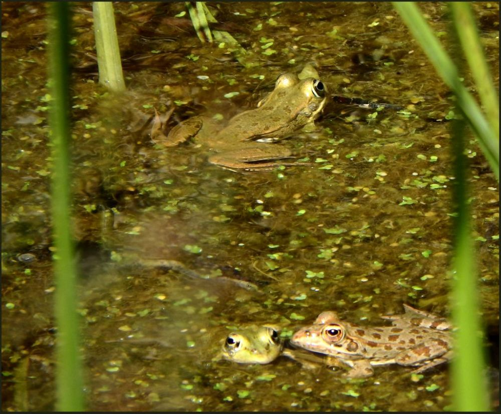 Spring Peepers in a Farm Pond