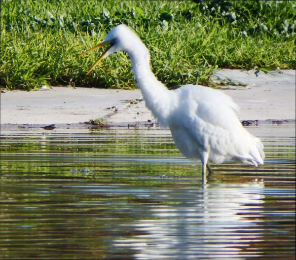 Little Egrets  at The Gandia Park Pond