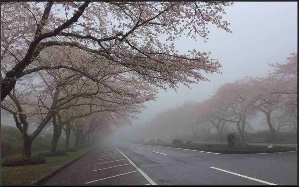 Row of Cherry Blossom Trees in The Misty Morning