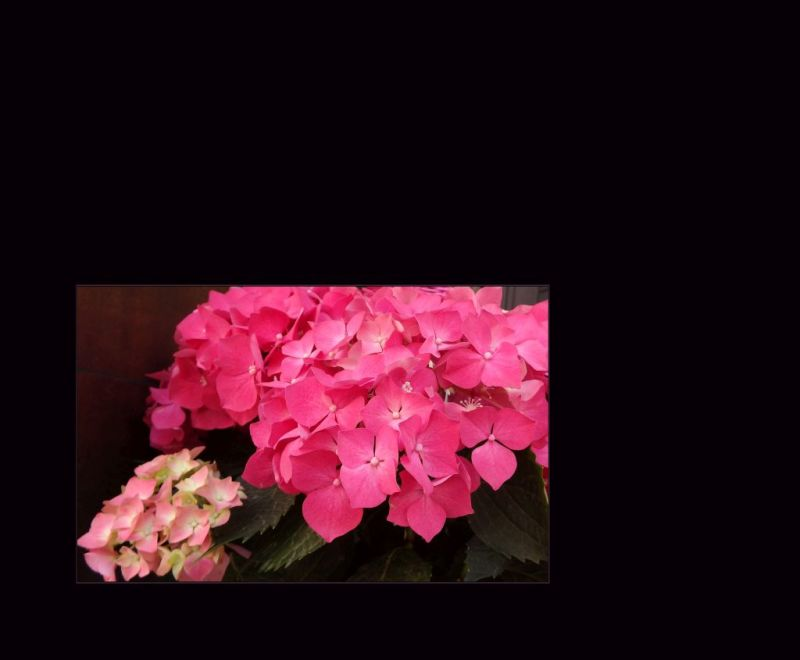 Pink Hydrangea at a Storefront
