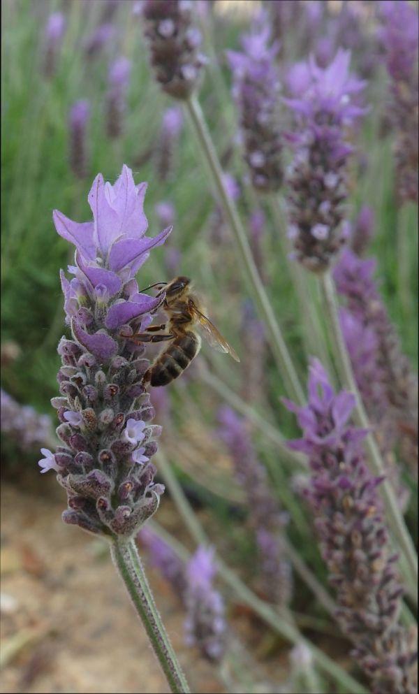 Lavender & Bee