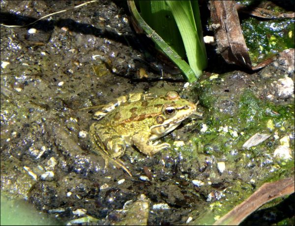 Frog in The  Marshy Place