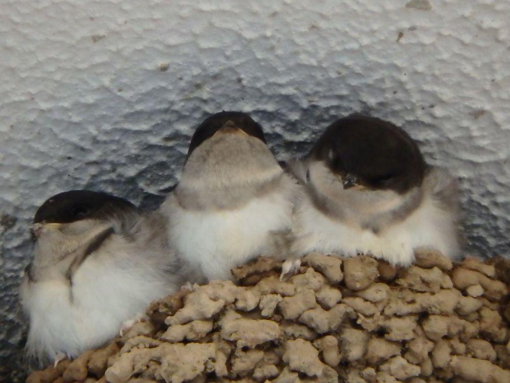Barn Swallow's Chicks