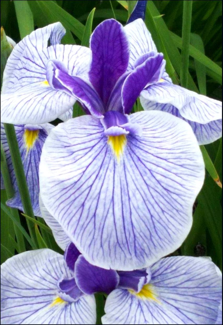 Japanese Iris - Horikiri Shoubu Garden