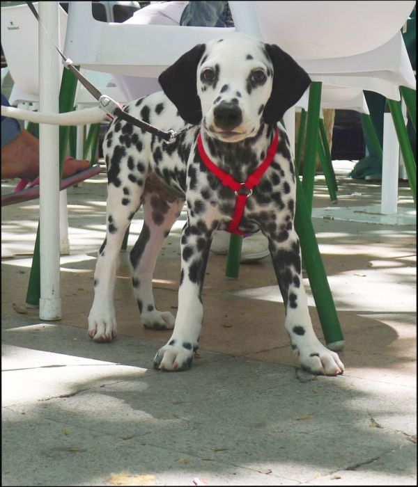 Dalmatian Puppy at The Café Terrace