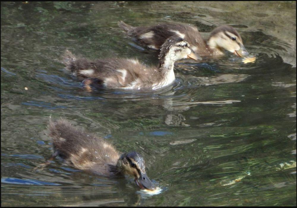 Ducklings in The Stream