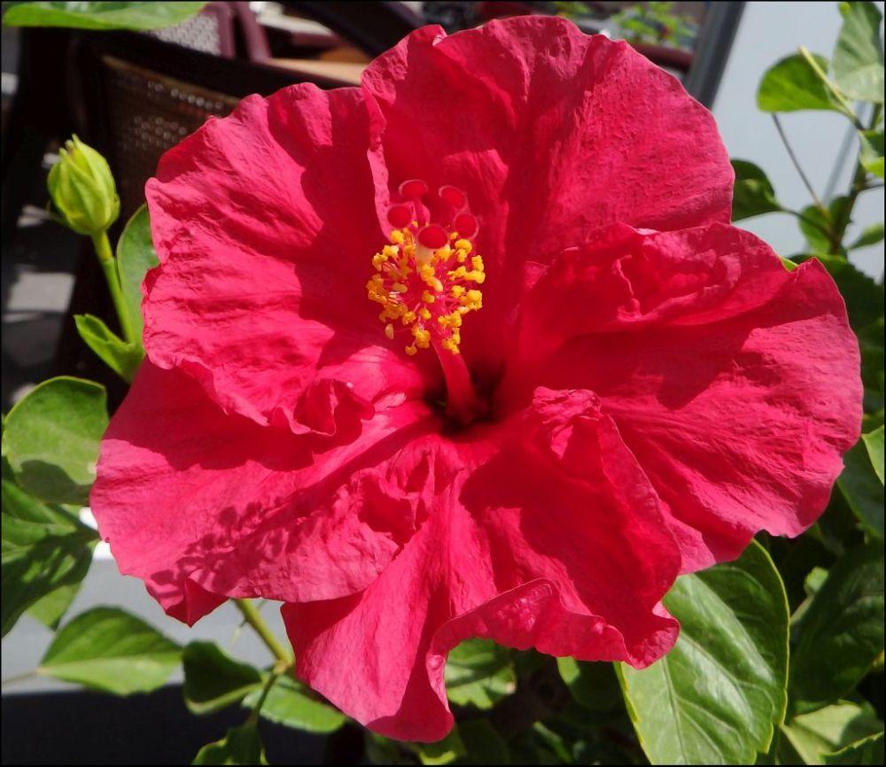 Hibiscus in Full Bloom