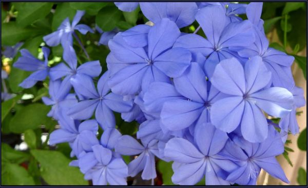 Blue Plumbago in Full Bloom