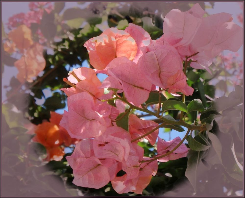 Pink Bougainvillea in Full Bloom