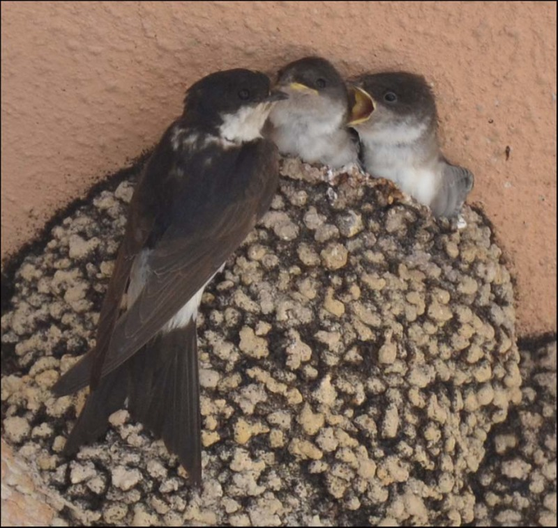 Barn Swallow Chicks - Feeding Time