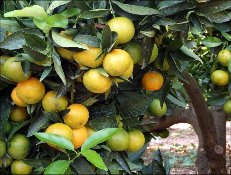 Orange Grove in Oliva Town