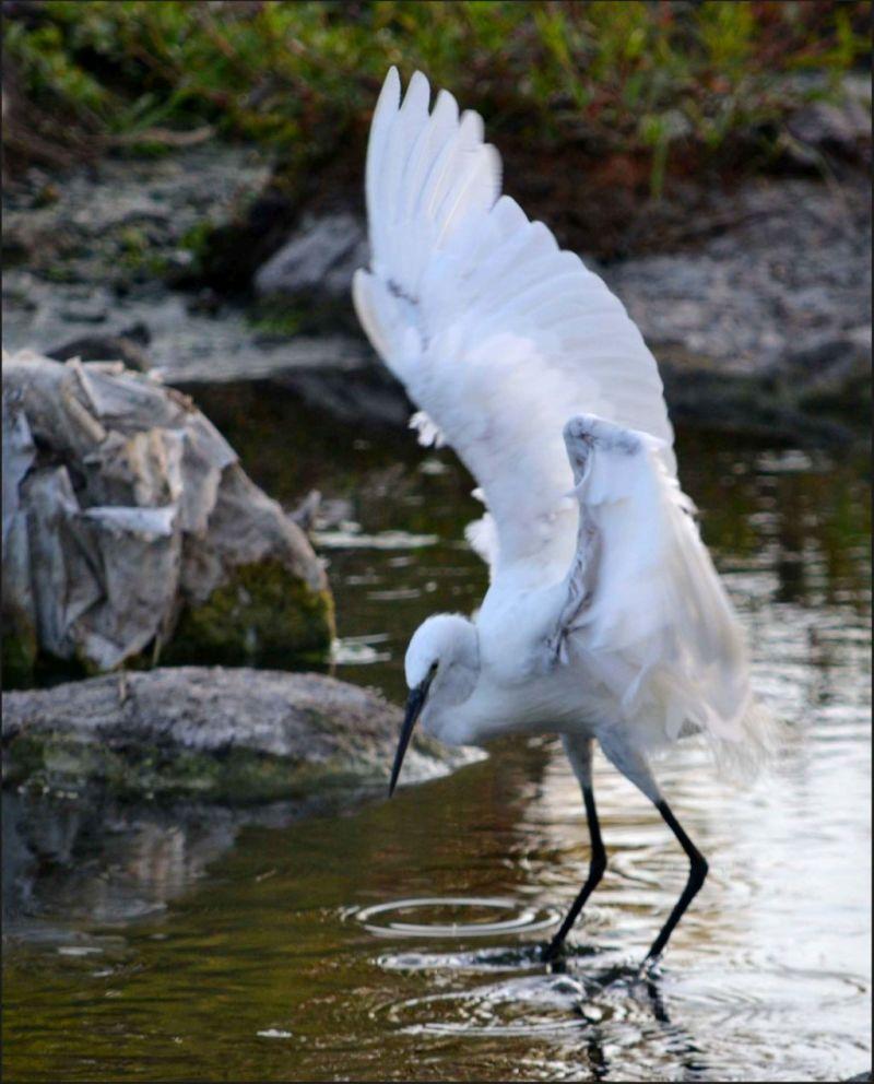 Great White Heron  -  Hunting