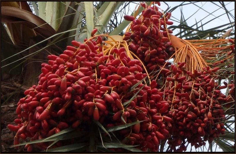 Bunch Of Dates - Harvest Season of Date Palm