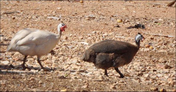 Turkey Hen in The Farmyard