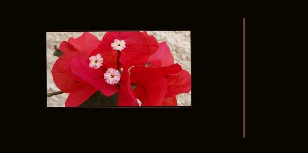 Red Bougainvillea ❀❀❀