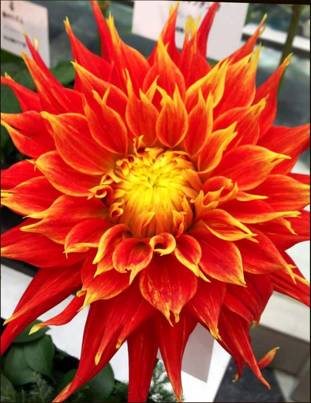 Dahlia Flowers Exhibition