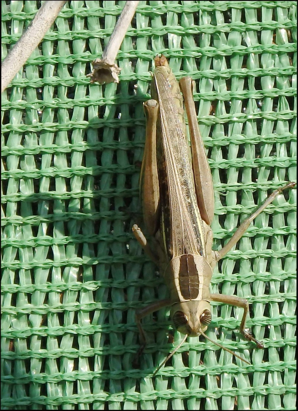 Grasshopper Resting on a Wall
