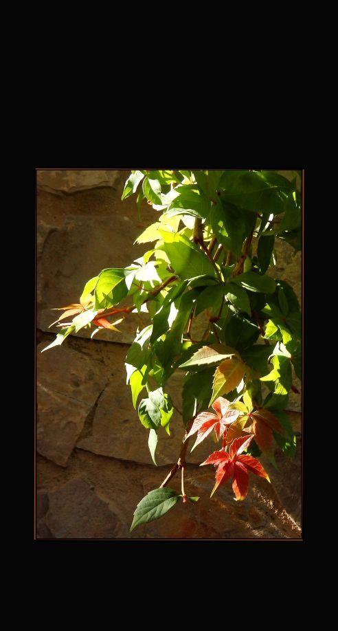 Scarlet-Tinged Ivy