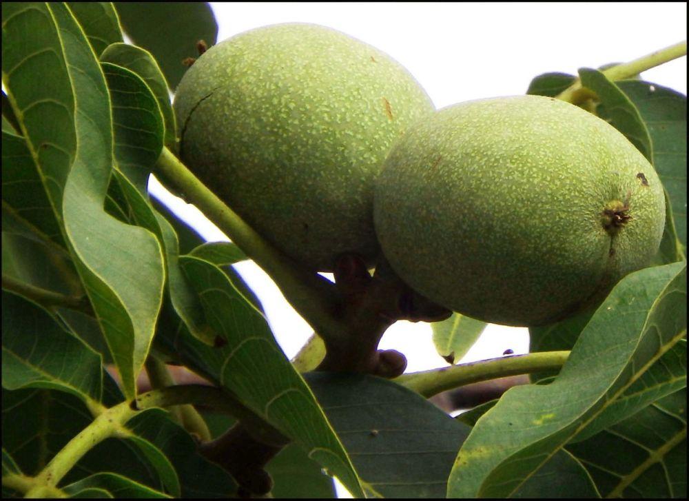 Walnut Tree's Fruits