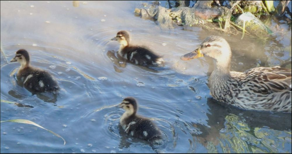 In the Early Winter Creek  -  Ducklings & Mother