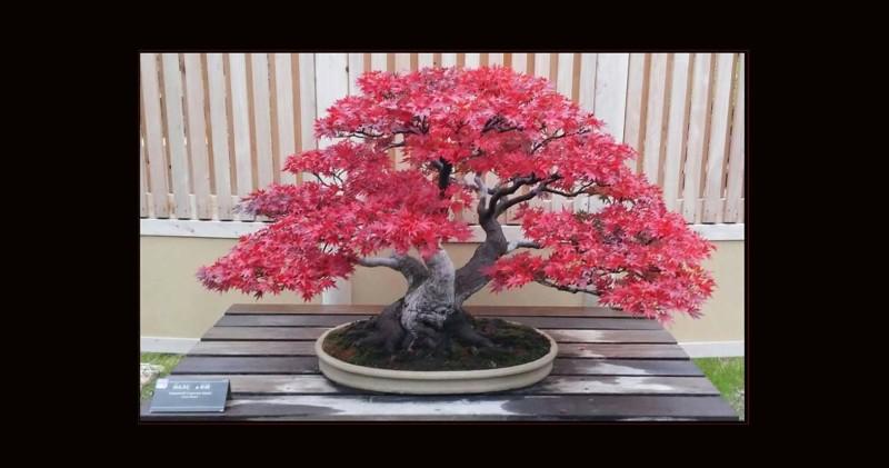 Maples (Momiji) Mini Bonsai