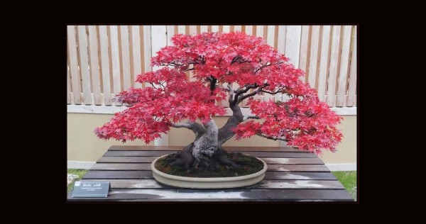 Maples (Momiji) Mini Bonsai