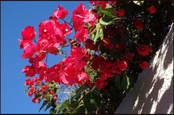 Full Bloom of Winter Bougainvillea