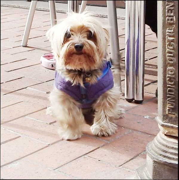 Cute Yorkie at A Café Terrace