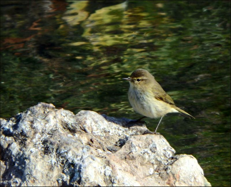 Young Bird in The Stream