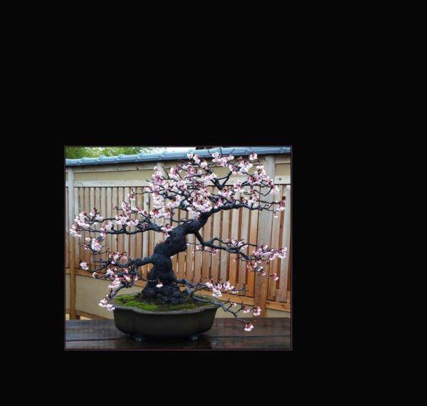 Cherry Blossom Bonsaii - Flowering
