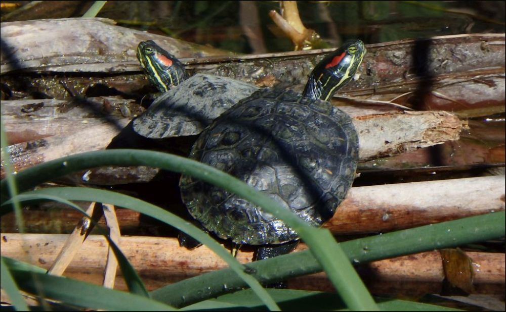 Sunbathing Red-eared Sliders
