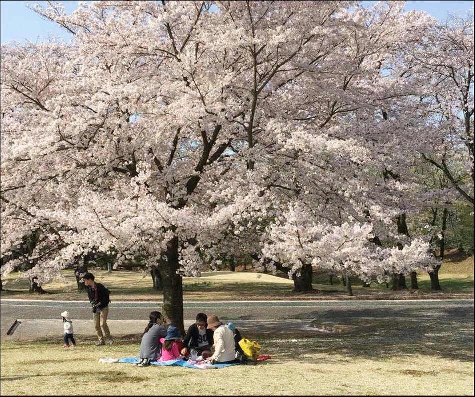 Good Spot for Cherry Blossom Viewing