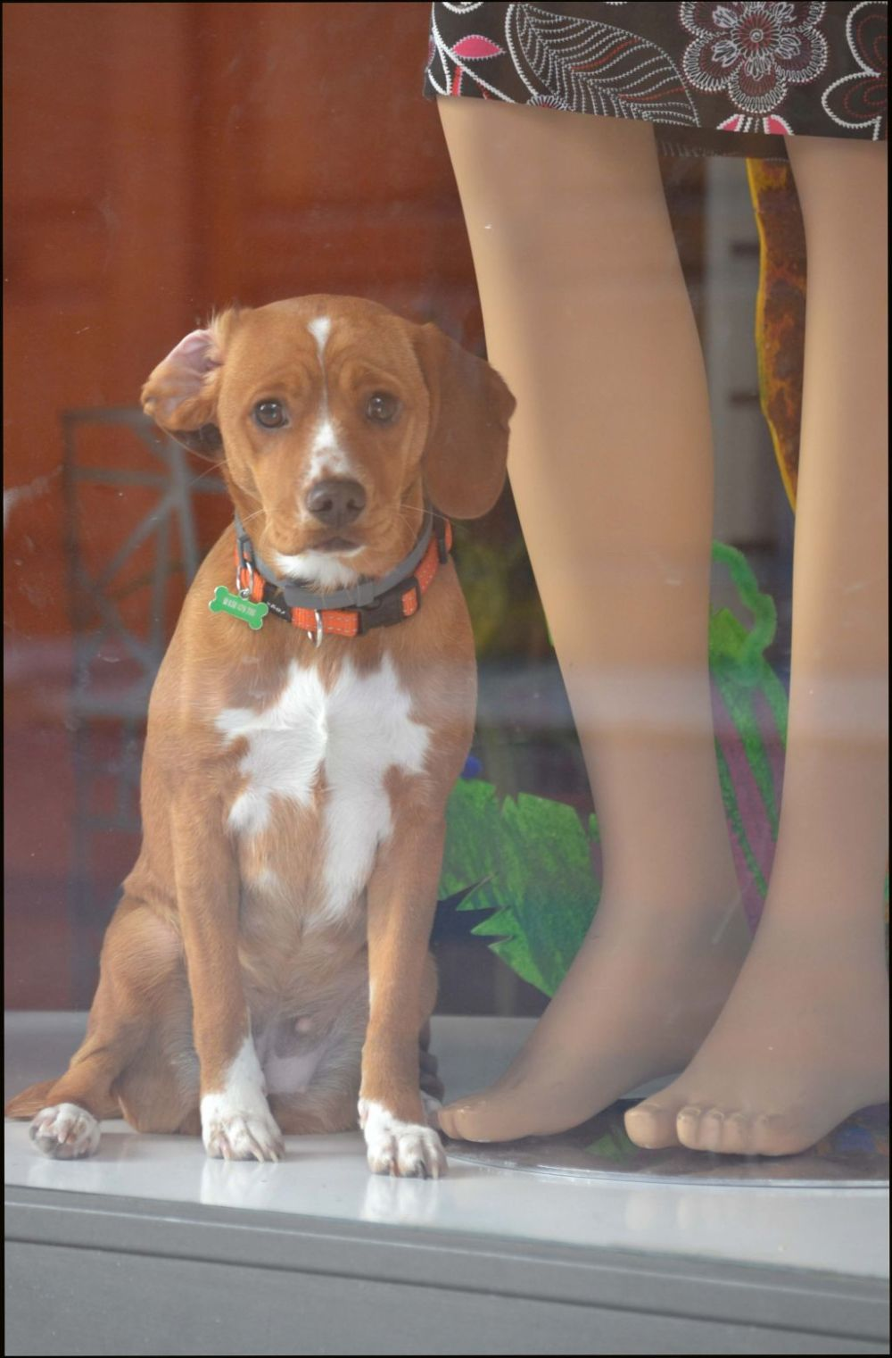 Dog in A Show Window