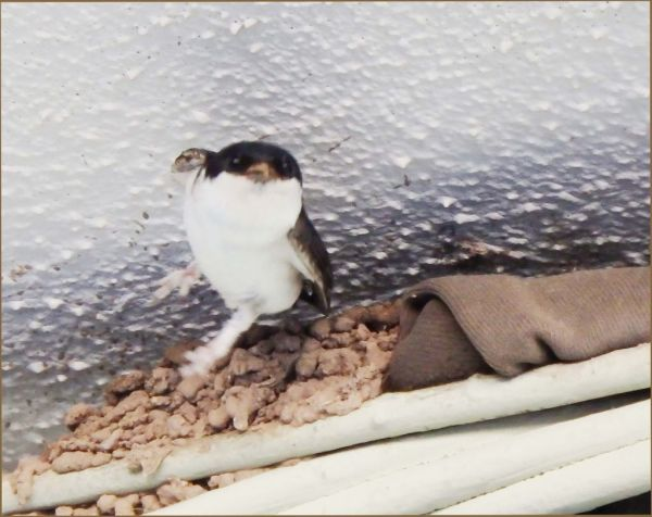 Young Swallow  -  Flying Away