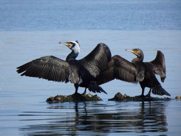 Great Cormorants at The Denia Harbor