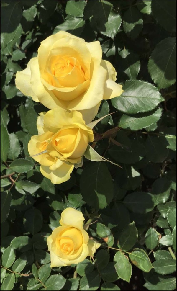 Odawara Flower Garden - Spring Rose Festa