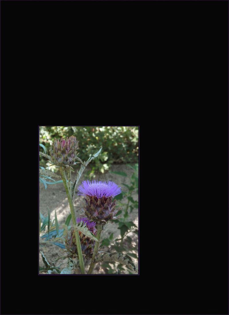 Cirsium japonicum